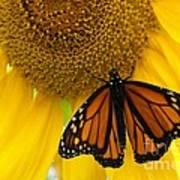 Monarch And Sunflower Poster