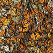 Monarch Butterflies Wintering Poster