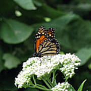 Monarch Butterfly 45 Poster