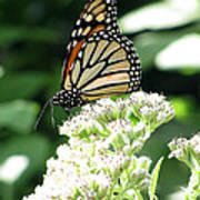Monarch Butterfly 58 Poster