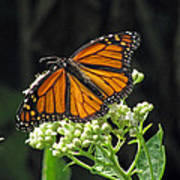 Monarch Butterfly 60 Poster