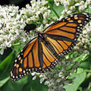 Monarch Butterfly 62 Poster