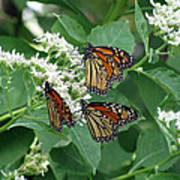 Monarch Butterfly 64 Poster