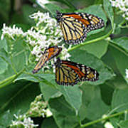 Monarch Butterfly 66 Poster