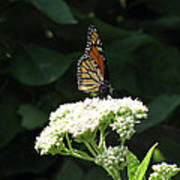 Monarch Butterfly 71 Poster