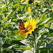 Monarch Butterfly And Guest Poster
