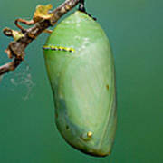 Monarch Butterfly Chrysalis Developing Poster