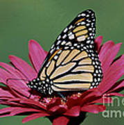 Monarch Butterfly Danaus Plexippus Poster