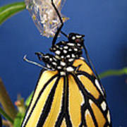 Monarch Butterfly Emerging From Chrysalis Poster