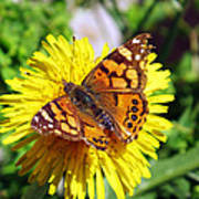 Monarch Butterfly Feeding On A Yellow Dandelion Flower Poster