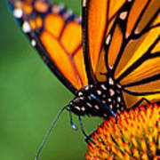 Monarch Butterfly Headshot Poster