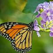 Monarch Butterfly Poster