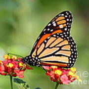 Monarch Butterfly On Lantana Flowers Poster