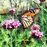 Monarch Butterfly On Pink Lantana Poster