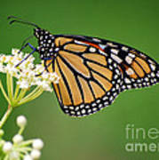 Monarch Butterfly On White Milkweed Flower Poster