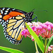 Monarch Butterfly Simple Pleasure Poster