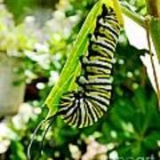 Monarch Caterpillar 5 Poster