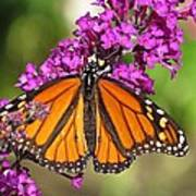 Monarch Hangs On To Buddleia Poster