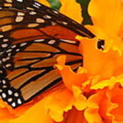 Monarch In The Marigold Poster