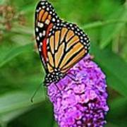 Monarch On A Butterfly Bush Poster