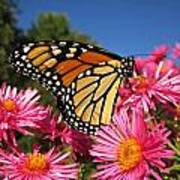 Monarch On Pink Asters Poster