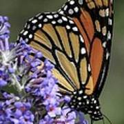 Monarch On Butterfly Bush-edition  3 Of 40 Poster