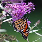 Monarch On Butterfly Bush Poster