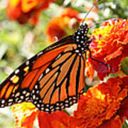 Monarch On Marigold Poster