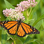 Monarch On Pink Poster