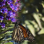 Monarch On Purple Flower Poster