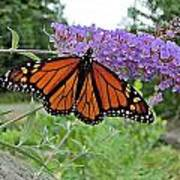 Monarch Under Flowers Poster