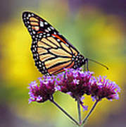 Monarch With Sunflower Poster