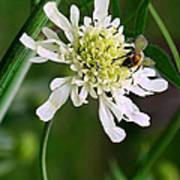 Monet's Garden Bee. Giverny Poster