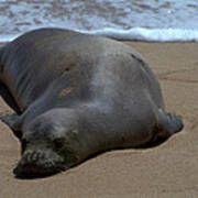 Monk Seal Sunning Poster by Brian Harig