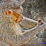 Monkey Playing With Tail Poster