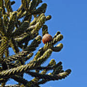 Monkey Puzzle Tree A Poster