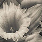 Mono Daffodil Poster