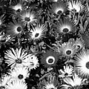 Monochrome Asters Poster