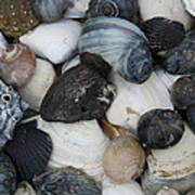Moon Snails And Shells Still Life Poster