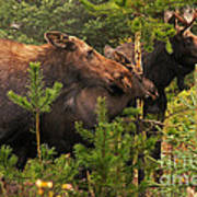 Moose Family At The Shredded Pine Poster