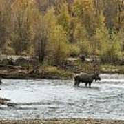 Moose Mid-stream - Grand Tetons Poster