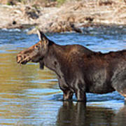 Moose On The  Gros Ventre River Poster