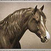 Morgan Horse Old Photo Fx Poster