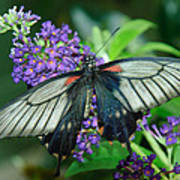 Mormon Butterfly Poster