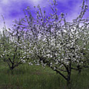 Morning Apple Blooms Poster