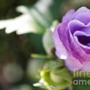 Morning Blossom Poster