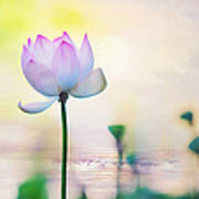 Morning Breeze And Beautiful Lotus Poster