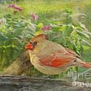 Morning Cardinal Poster