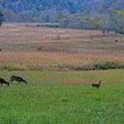 Morning Deer In Cades Cove Poster