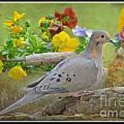 Morning Dove With Pansies Poster